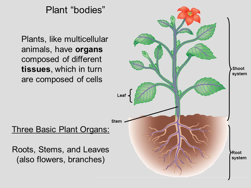 Plant bodies Plants, like multicellular animals, have organs composed of different tissues, which in turn are composed of cells.