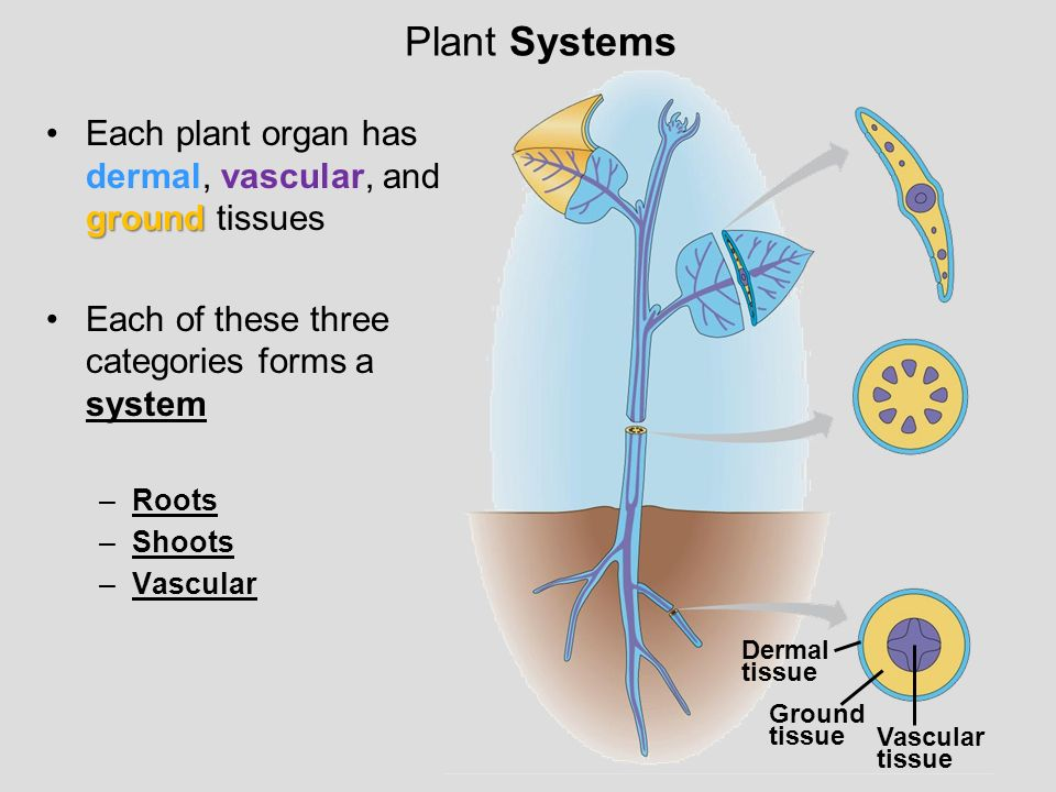 Plant Systems Dermal. tissue. Ground. Vascular. Each plant organ has dermal, vascular, and ground tissues.