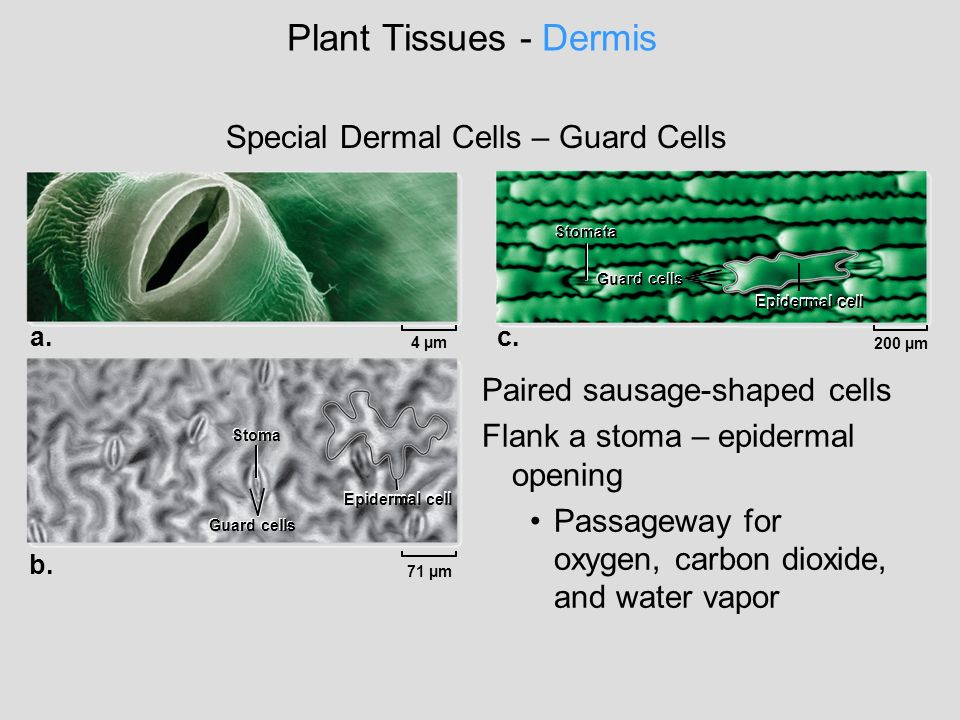 Plant Tissues - Dermis Special Dermal Cells – Guard Cells