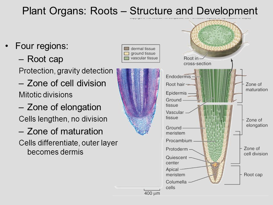 Plant Organs: Roots – Structure and Development