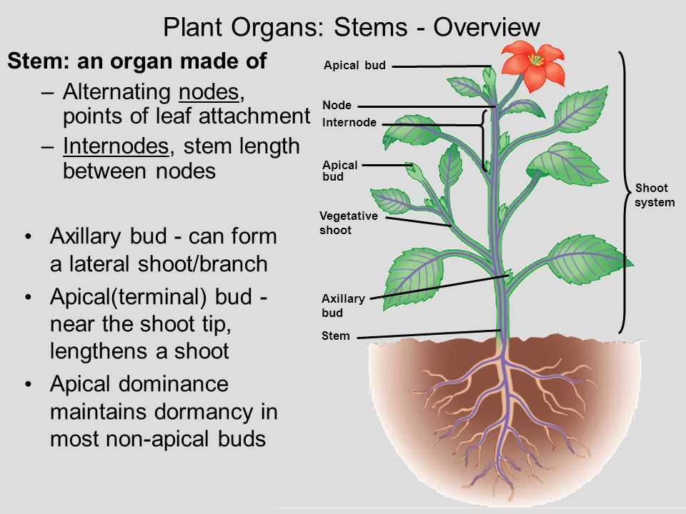 Plant Organs: Stems - Overview
