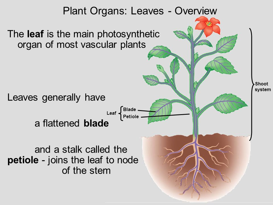 Plant Organs: Leaves - Overview