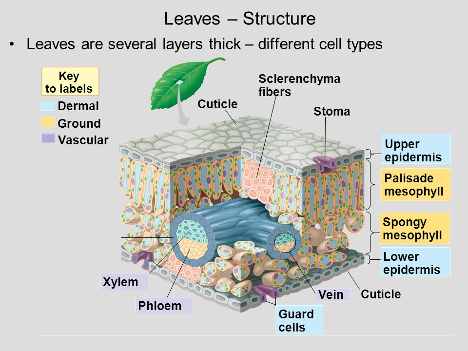 Leaves – Structure Leaves are several layers thick – different cell types. Key to labels. Dermal.