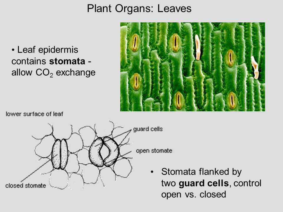 Plant Organs: Leaves Leaf epidermis contains stomata - allow CO2 exchange.