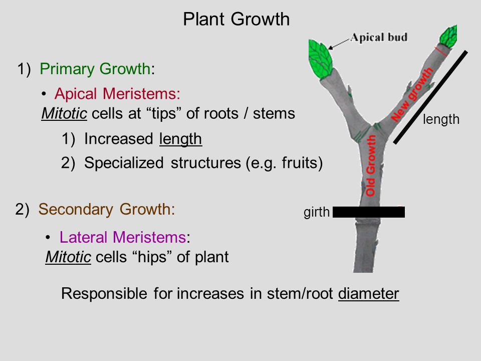 Plant Growth 1) Primary Growth: Apical Meristems: