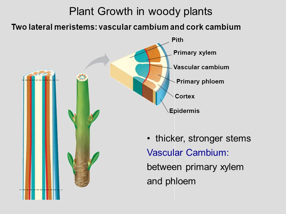 Plant Growth in woody plants