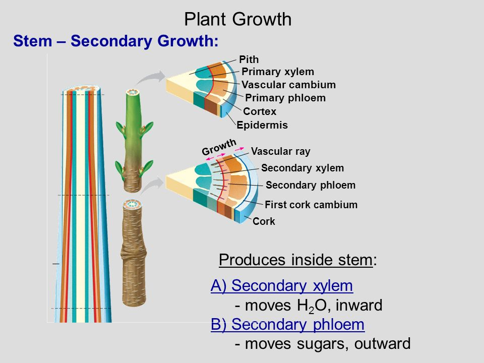 Plant Growth Stem – Secondary Growth: Produces inside stem: