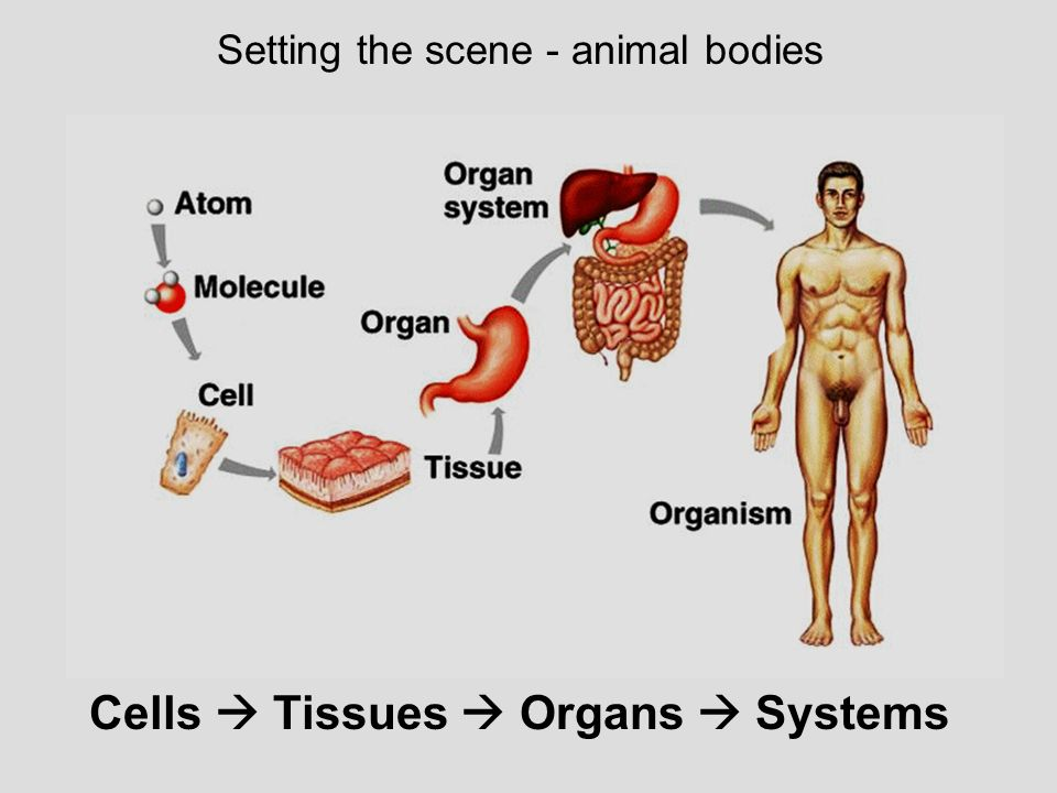 Cells  Tissues  Organs  Systems
