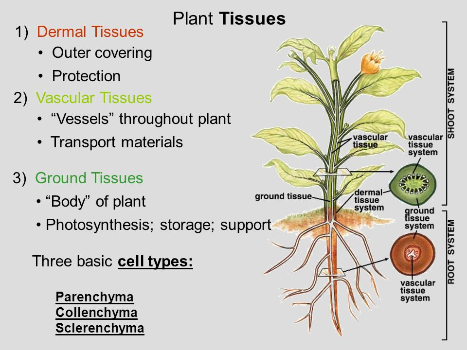 Plant Tissues 1) Dermal Tissues Outer covering Protection