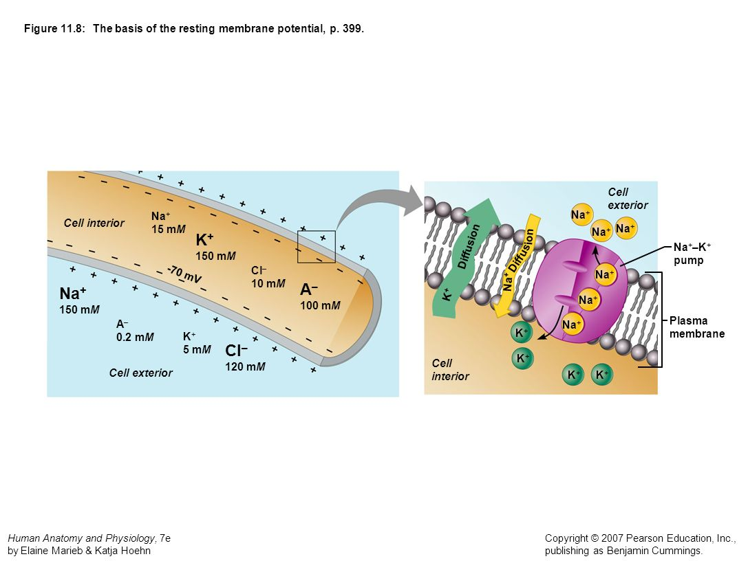 Figure 11.8: The basis of the resting membrane potential, p. 399.