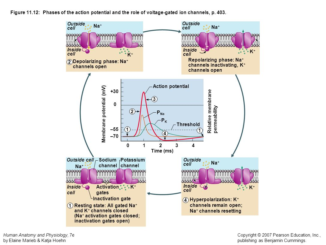 Figure 11.12: Phases of the action potential and the role of voltage-gated ion channels, p. 403.