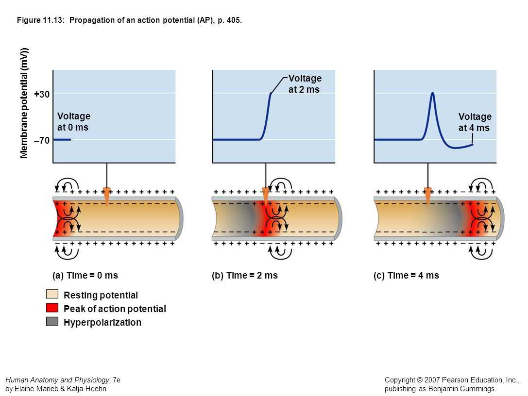 Figure 11.13: Propagation of an action potential (AP), p. 405.