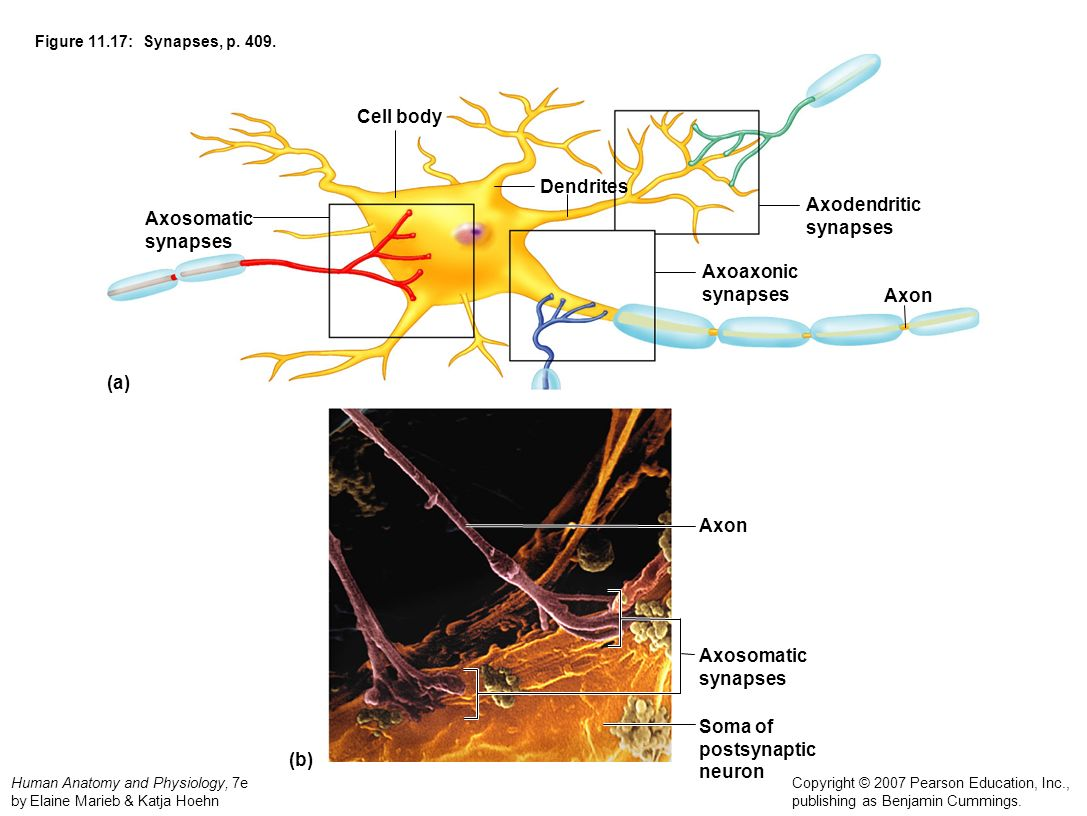 Cell body Dendrites Axodendritic Axosomatic synapses synapses