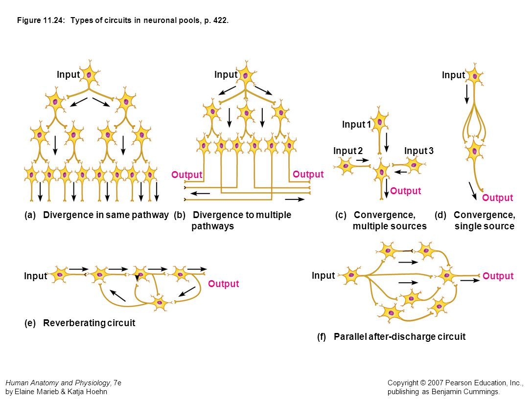 Figure 11.24: Types of circuits in neuronal pools, p. 422.