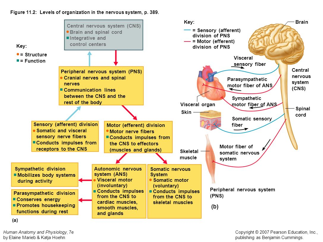 Figure 11.2: Levels of organization in the nervous system, p. 389.