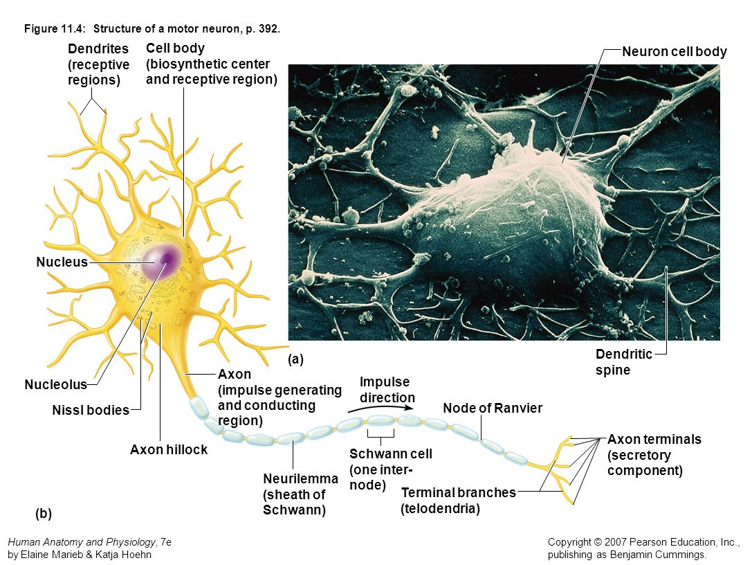 Figure 11.4: Structure of a motor neuron, p. 392.