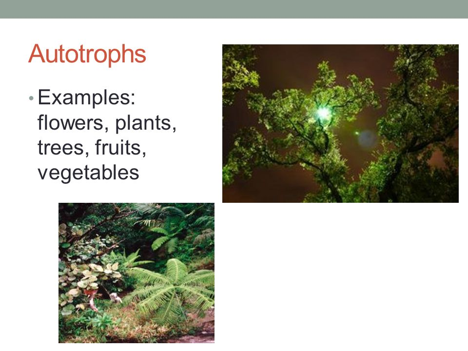 3 Autotrophs Examples Flowers Plants Trees Fruits Vegetables