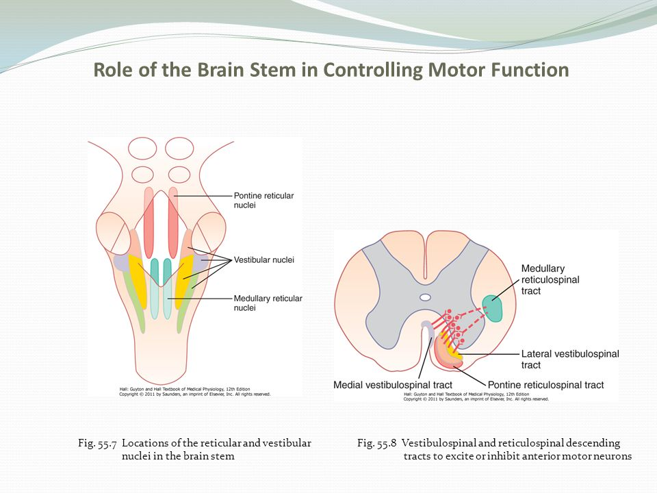 Chapter 55 Cortical And Brain Stem Control Of Motor Function Ppt