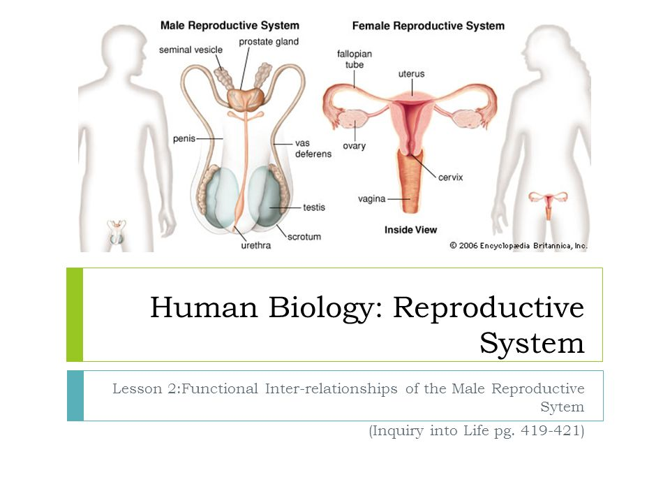 Human biology reproductive system ppt download human biology reproductive system ccuart Choice Image