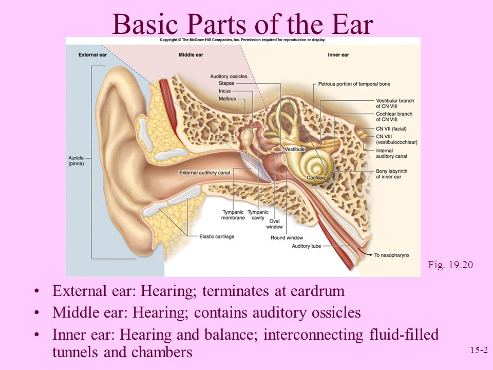 Sense organs ii the ear ppt video online download basic parts of the ear external ear hearing terminates at eardrum ccuart Choice Image
