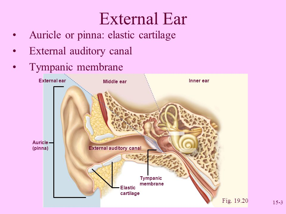 Sense Organs II: The Ear - ppt video online download