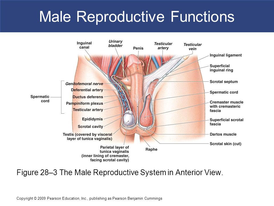 28 3 Male Reproductive System Diagram Block And Schematic Diagrams
