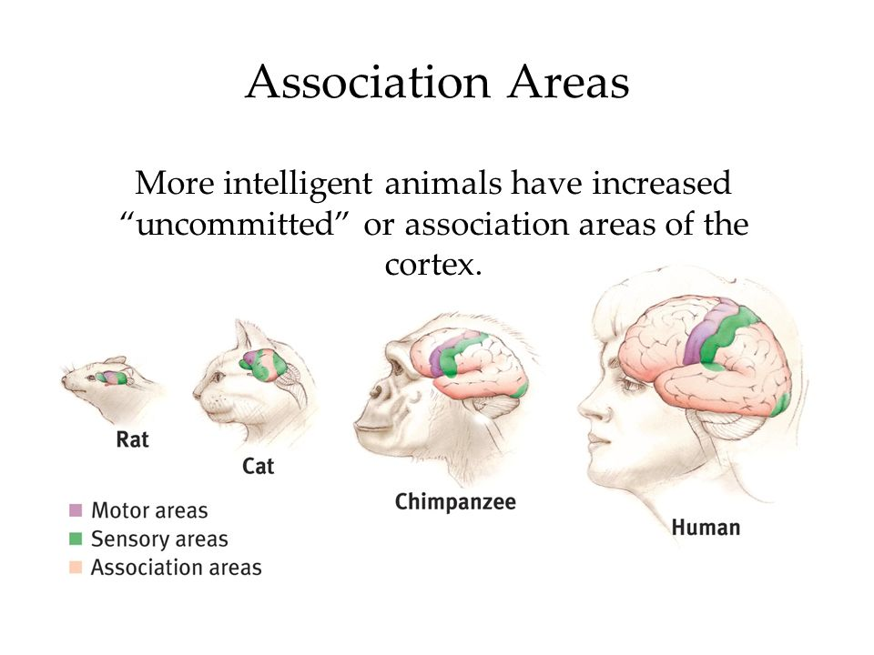 Association Areas More intelligent animals have increased uncommitted or association areas of the cortex.