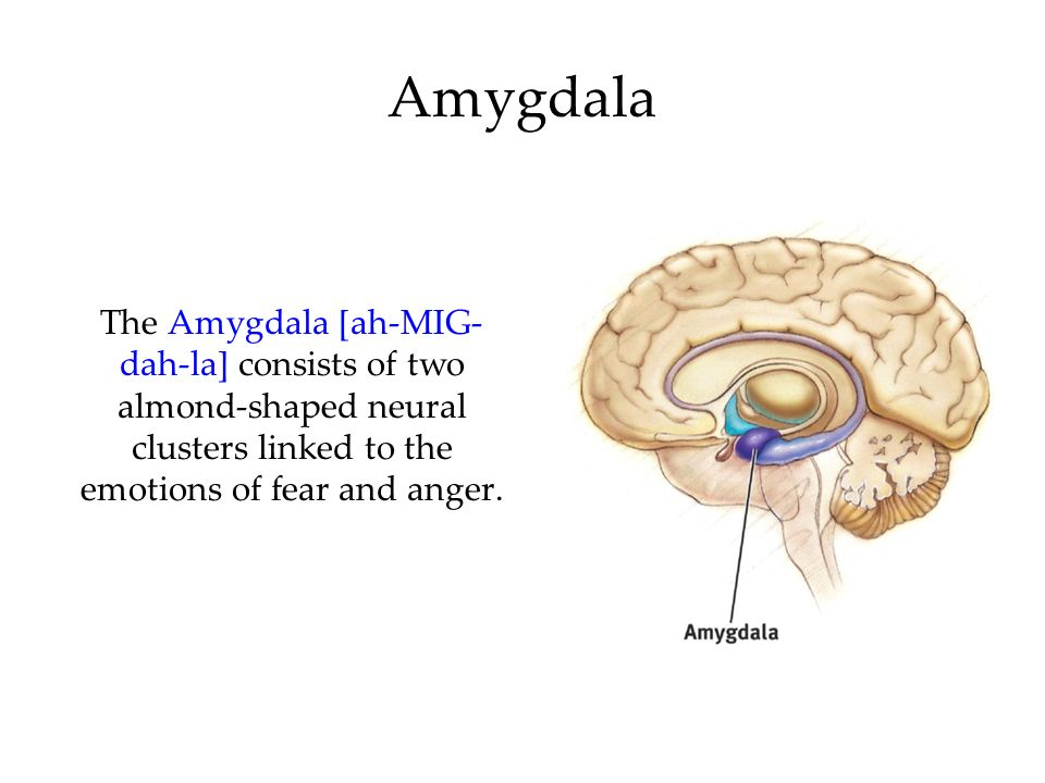 Amygdala The Amygdala [ah-MIG-dah-la] consists of two almond-shaped neural clusters linked to the emotions of fear and anger.