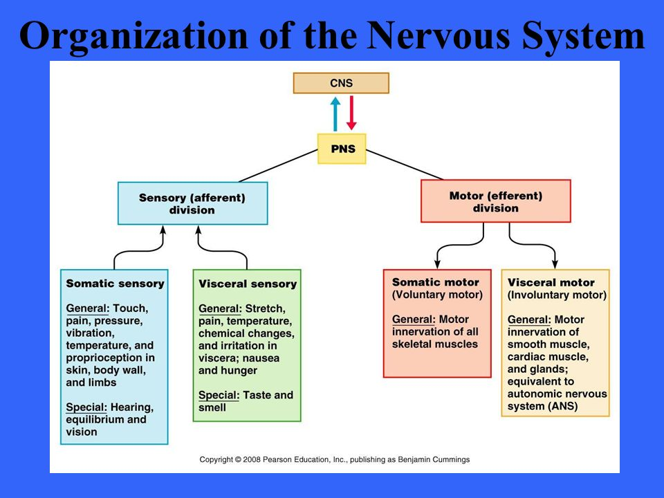 Fundamentals of the nervous system and nervous tissue ppt download 7 organization ccuart Gallery