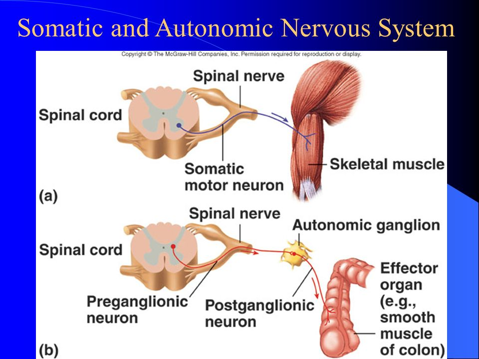 Section 5 Regulation Of The Visceral Function By The Nervous System