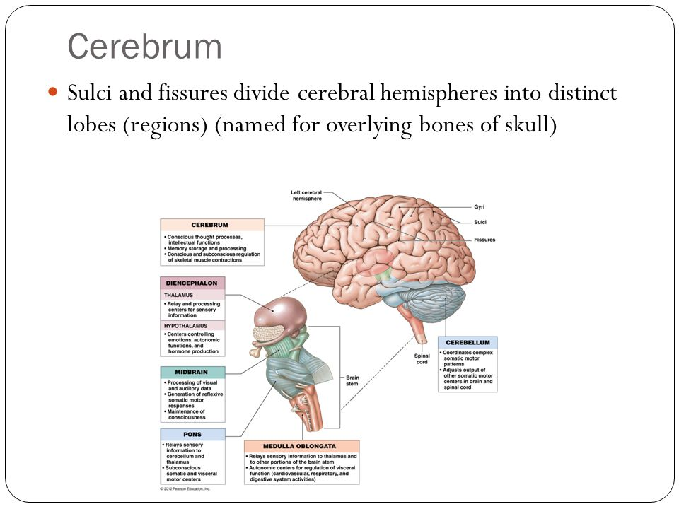 Cerebrum Sulci and fissures divide cerebral hemispheres into distinct lobes (regions) (named for overlying bones of skull)