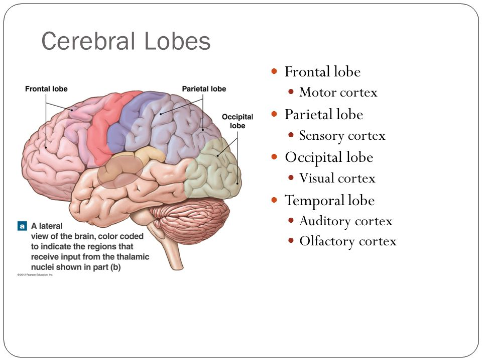 Cerebral Lobes Frontal lobe Parietal lobe Occipital lobe Temporal lobe