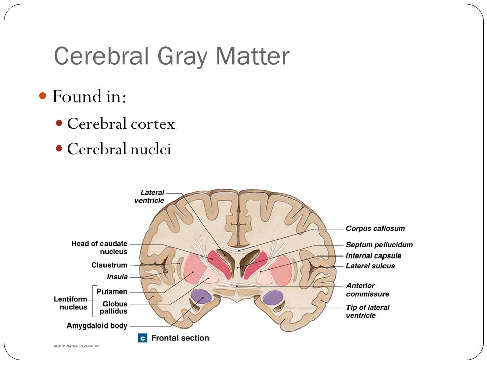 Cerebral Gray Matter Found in: Cerebral cortex Cerebral nuclei
