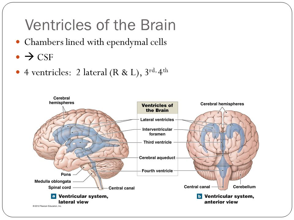 Ventricles of the Brain