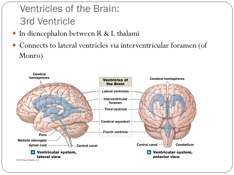 Ventricles of the Brain: 3rd Ventricle
