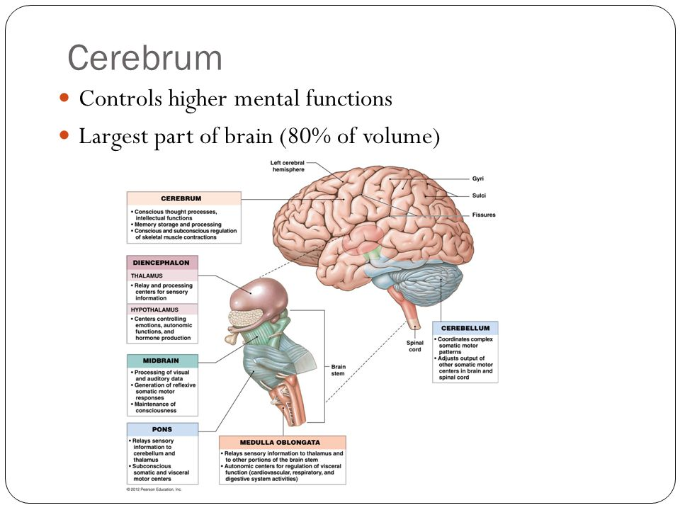 Cerebrum Controls higher mental functions