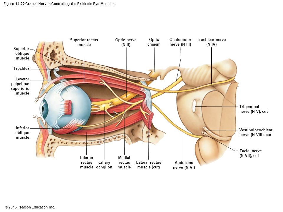 Eye nerves image collections diagram of internal organs an introduction to the brain and cranial nerves ppt video online ccuart Choice Image