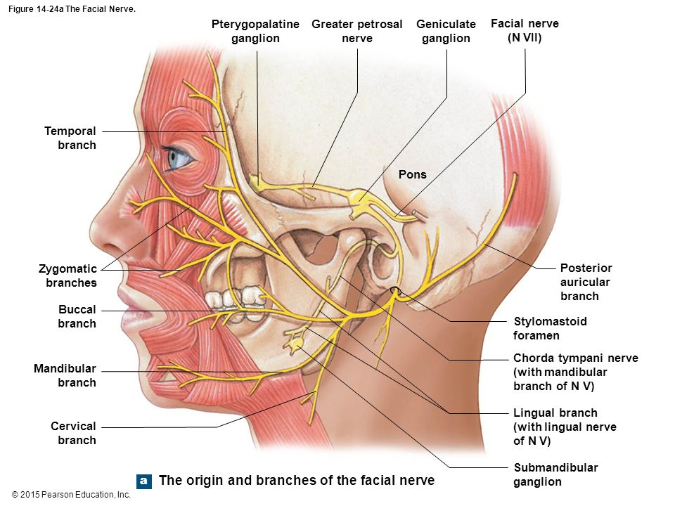 An Introduction to the Brain and Cranial Nerves - ppt video online ...
