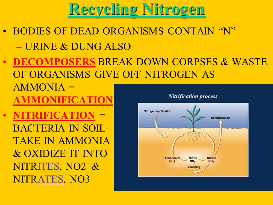 Recycling Nitrogen BODIES OF DEAD ORGANISMS CONTAIN N