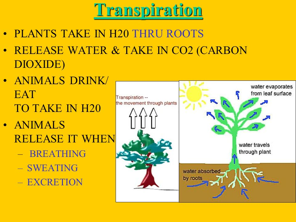Transpiration PLANTS TAKE IN H20 THRU ROOTS