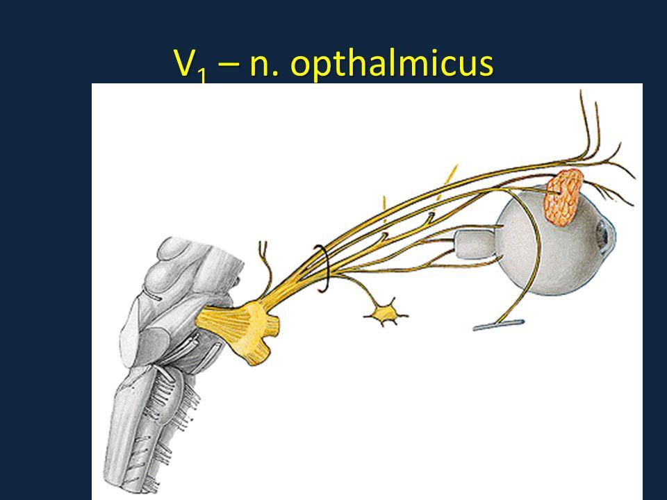 cranial nerves nervi craniales