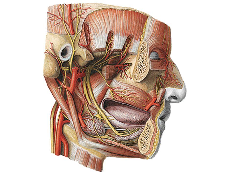 Cranial Nerves Nervi Craniales Ppt Video Online Download