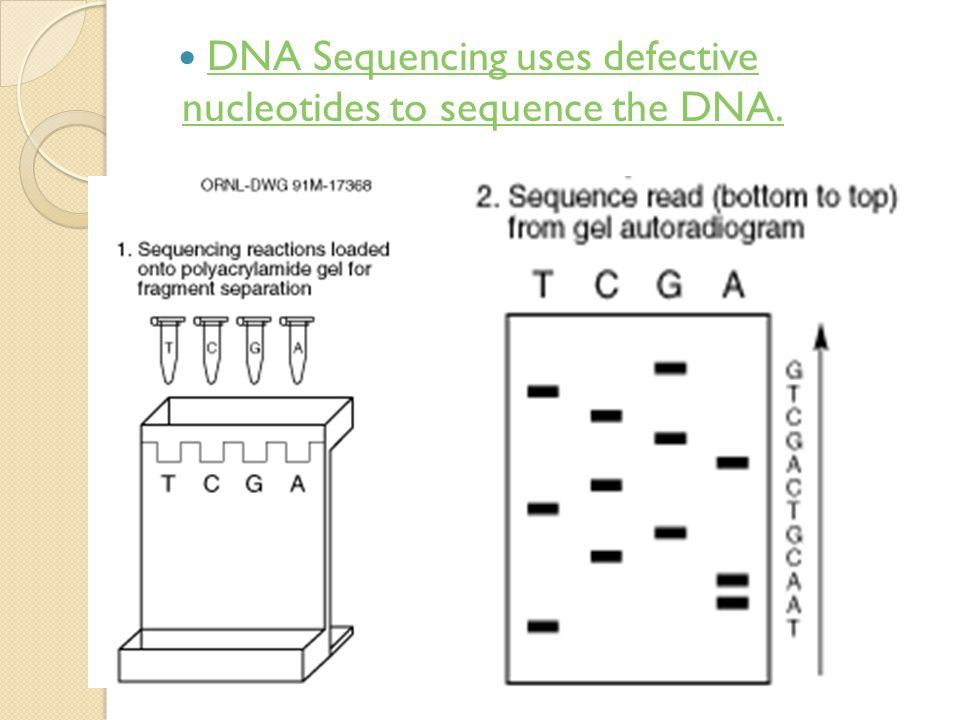 DNA Sequencing uses defective nucleotides to sequence the DNA.