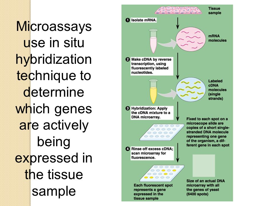 Microassays use in situ hybridization technique to determine which genes are actively being expressed in the tissue sample