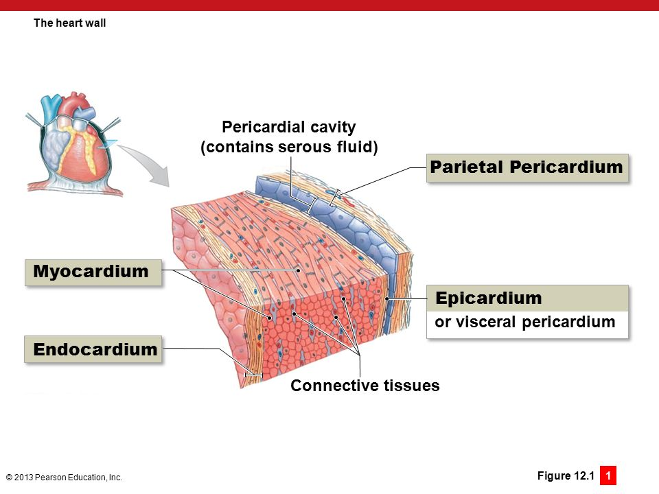 12 the heart and cardiovascular function ppt download 12 contains serous fluid the heart wall ccuart Image collections
