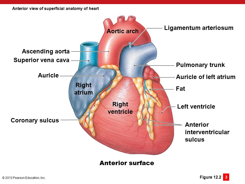Heart Anatomy Diagram Of Superficial - Schematics Wiring Diagrams •