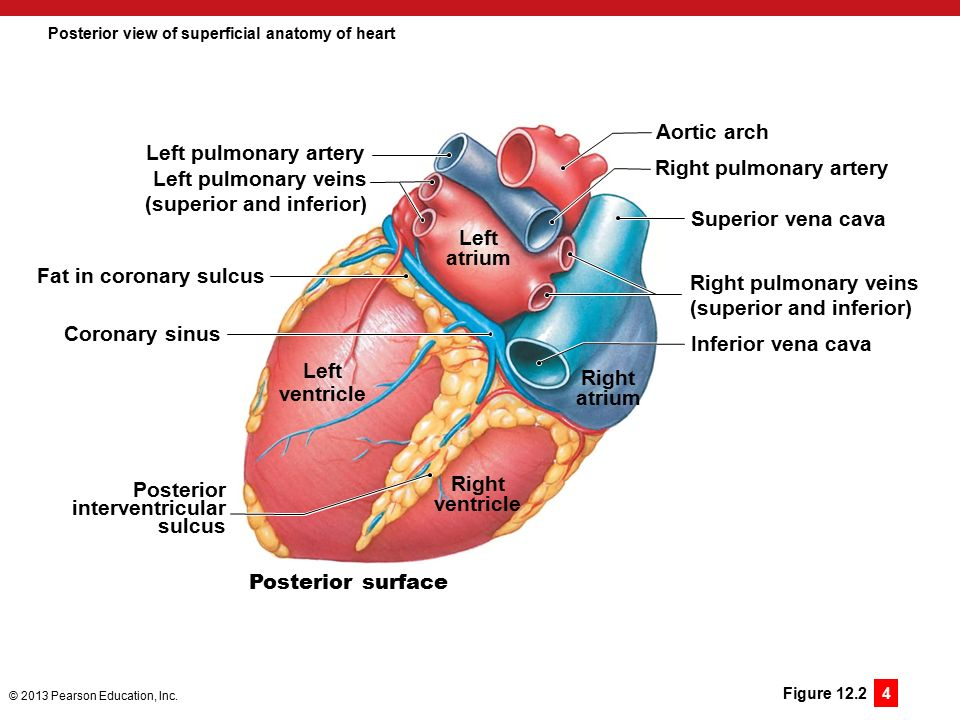 12 the heart and cardiovascular function ppt download posterior view of superficial anatomy of heart ccuart Images