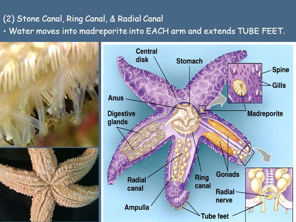 stone canal starfish