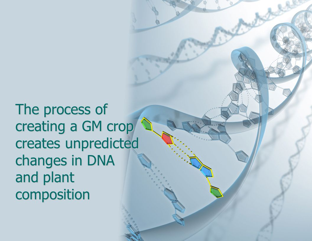 The process of creating a GM crop creates unpredicted changes in DNA and plant composition