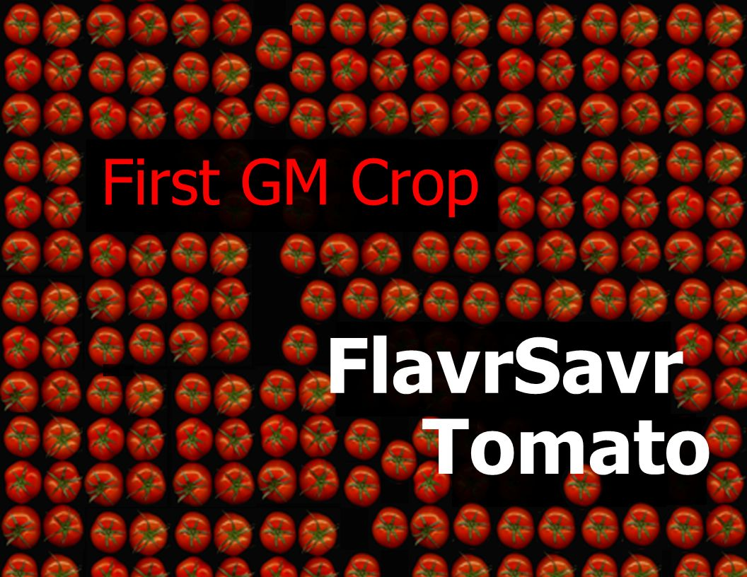 FlavrSavr Tomato First GM Crop